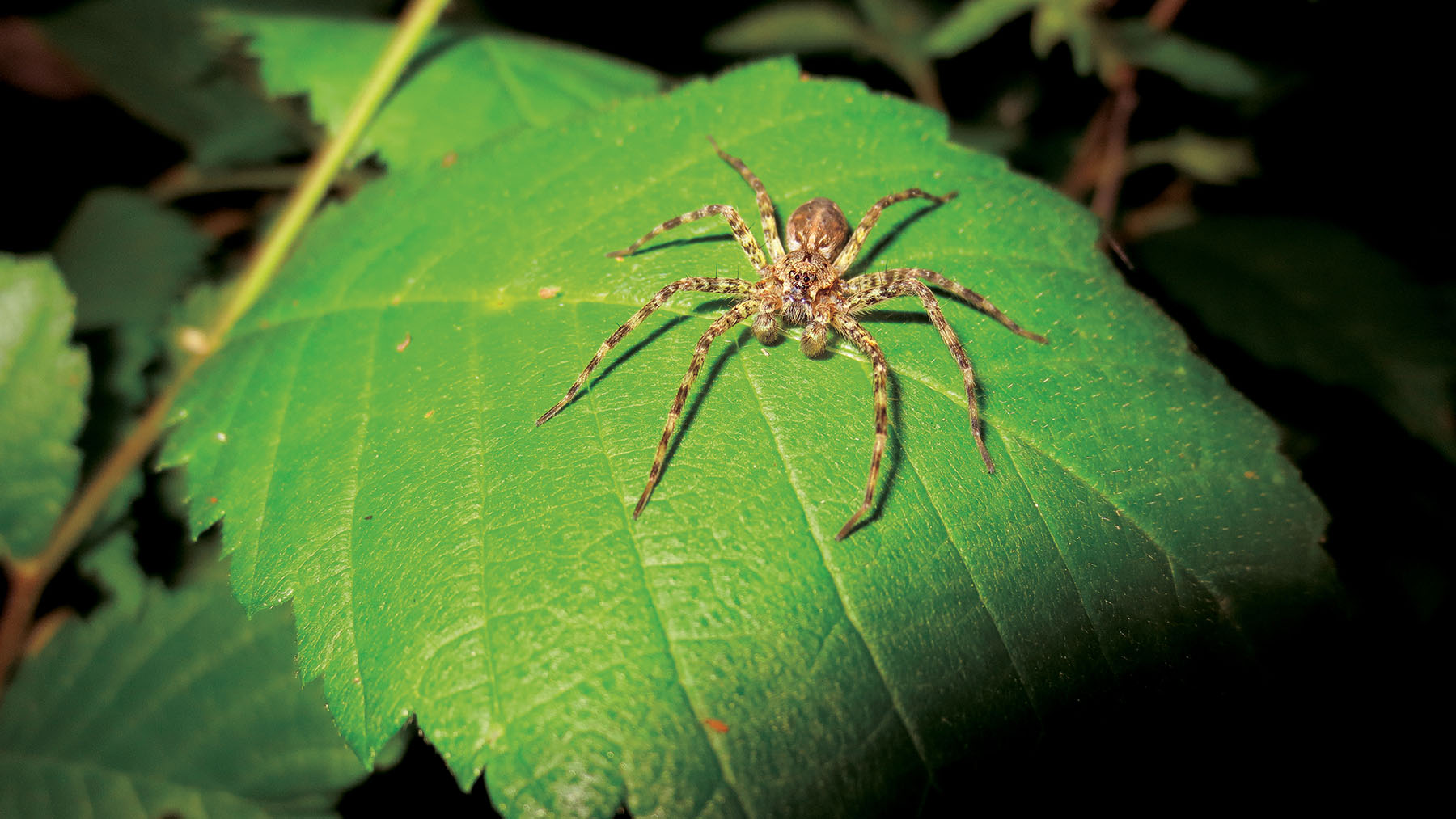 Ultimate sacrifice: Spider's post-sex cannibalism aids ...