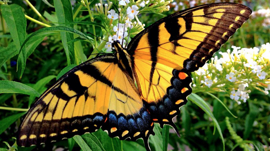 Free Gardening For Butterflies Lecture Is Feb 28