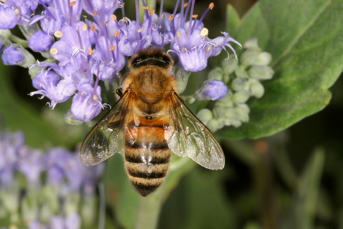 Bee Scholar Too Soon To Say Colony Collapse Disorder