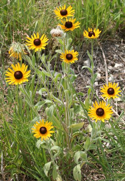 Celebrate Wildflowers This Week Thisweek Ianr University Of