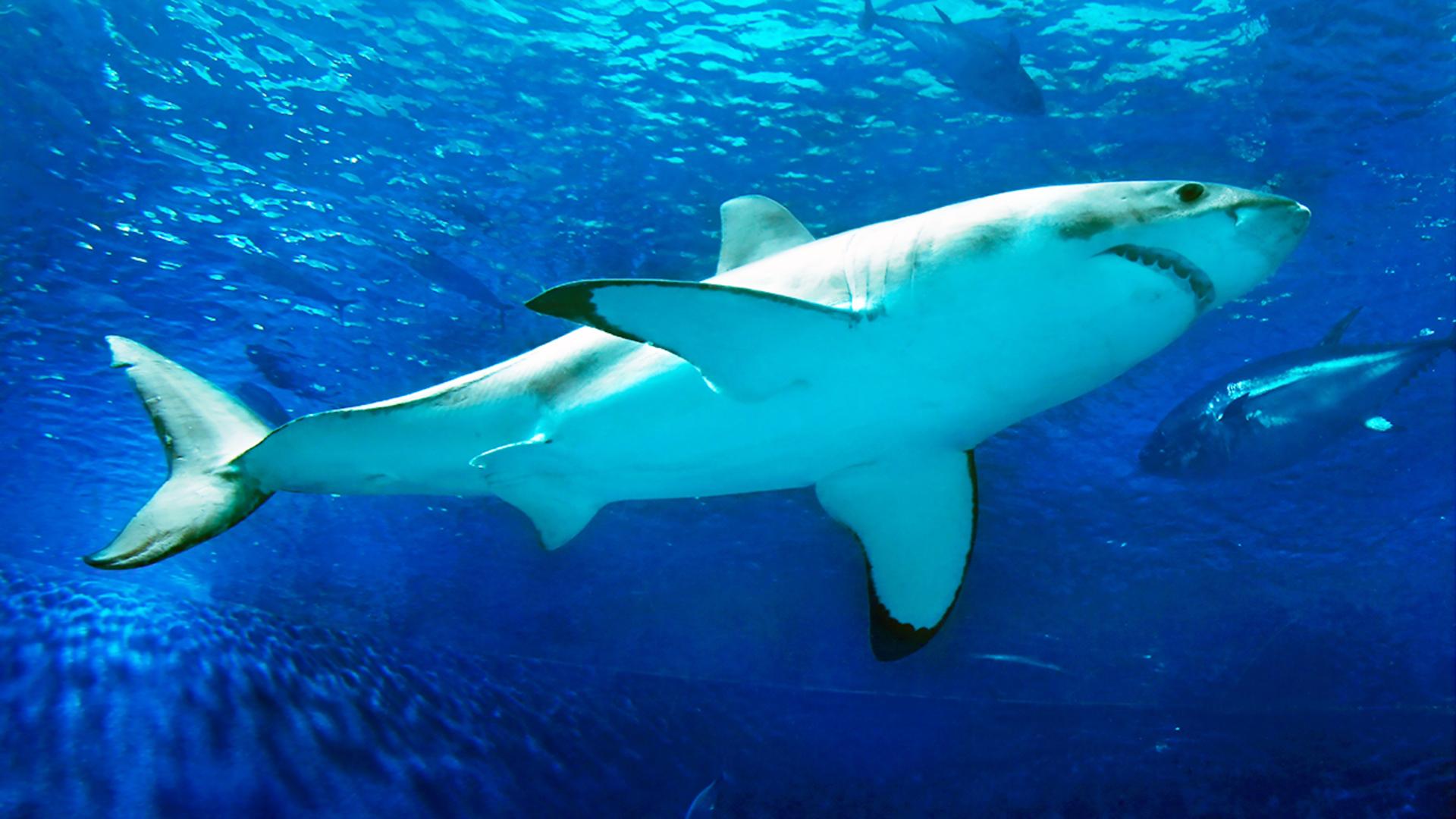Researchers net crucial estimate of white shark survival