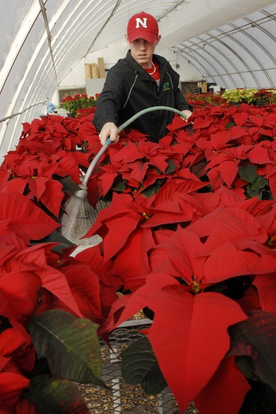 A member of the UNL Horticulture Club waters poinsettias prior to the group's annual sale. (University Communications file photo)