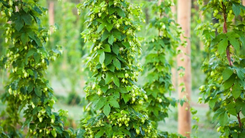 Hop bines growing at Midwest Hop Producers' hops yard in Plattsmouth. A hops workshop will be held at the growing site on July 22.