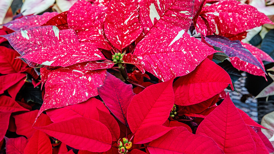 The Horticulture Club's annual poinsettia sale is online until Nov. 13.