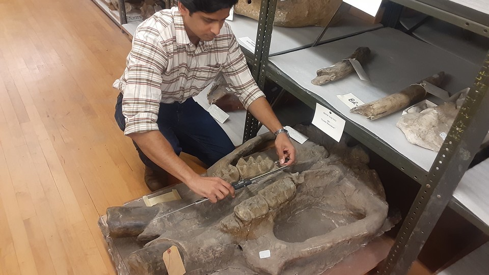 Dr. Advait Jukar with the Smithsonian Intitution's National Museum of Natural History measures the teeth of a mastodon fossil in the University of Nebraska State Museum's fossil collection kept at Nebraska Hall.