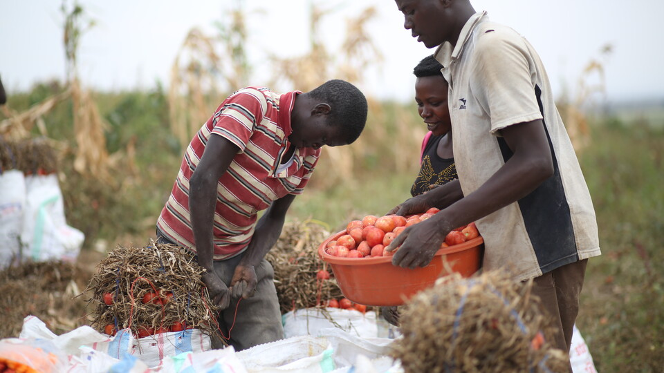 Rwandan farmers reap the benefits of irrigation