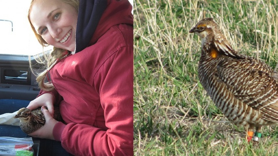 (Left) Jocelyn Olney, a natural resources graduate student, holds a banded prairie chicken. Olney is looking into why one prairie chicken traveled more than 30 miles in one season. (Right) A banded prairie chicken in the field.