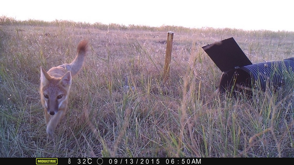 A swift fox as captured by a camera trap set up by researchers with the Nebraska Canid Project.
