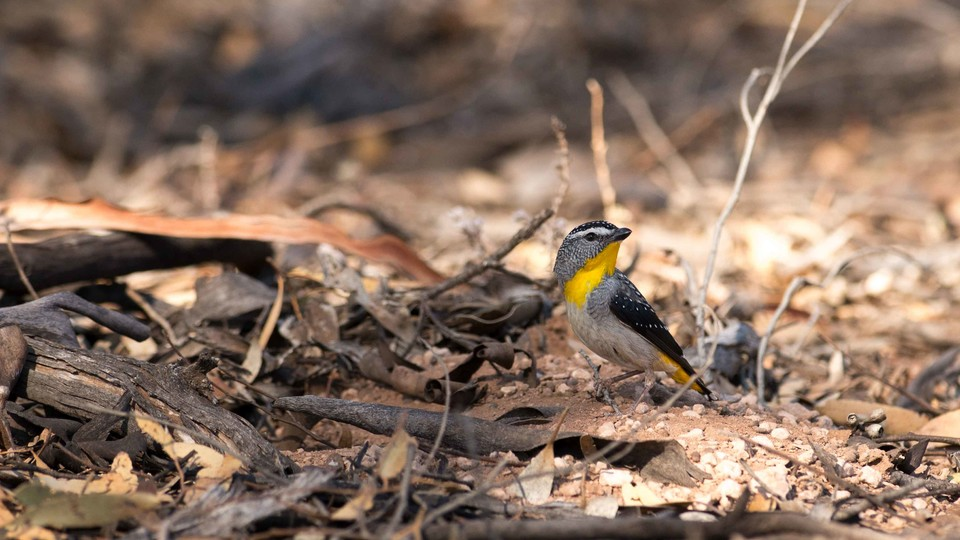 A male spotted pardalote (one of the study species) is shown outside a nest at the field site in Brookfield Conservation Park, Blanchetown, South Australia. | Photo courtesy Allison Johnson