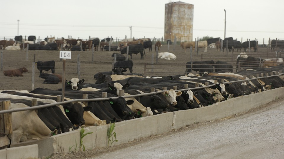 A new study conducted by scientists from UNL and the USDA has found that the feed additive Zilmax has no noticeable effect on cattle health or well-being. The study came after sales of the additive were temporarily suspended in 2013.