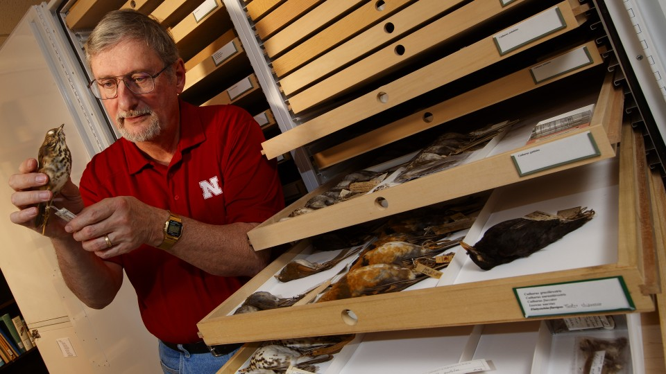 Robert Zink examines a bird specimen in the collections of the University of Nebraska State Museum. Zink, professor in the schools of natural resources and of biological sciences and curator of zoology, is co-author of a paper showing that zoologists have significantly underestimated the number of living bird species.