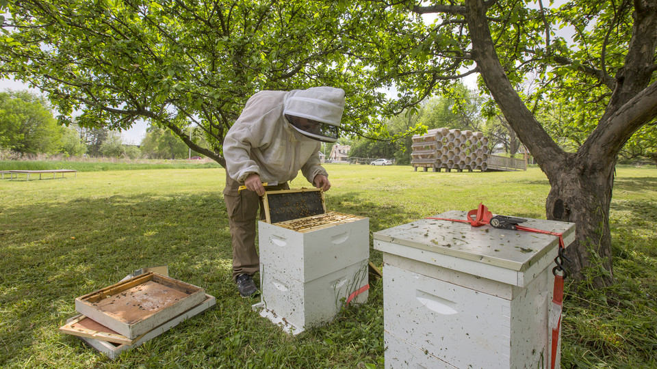 Dustin Scholl, apiary manager, searches for the queen in a hive on East Campus. This season, the university's Bee Lab will distribute and monitor more than 200 hives to locations across Nebraska.