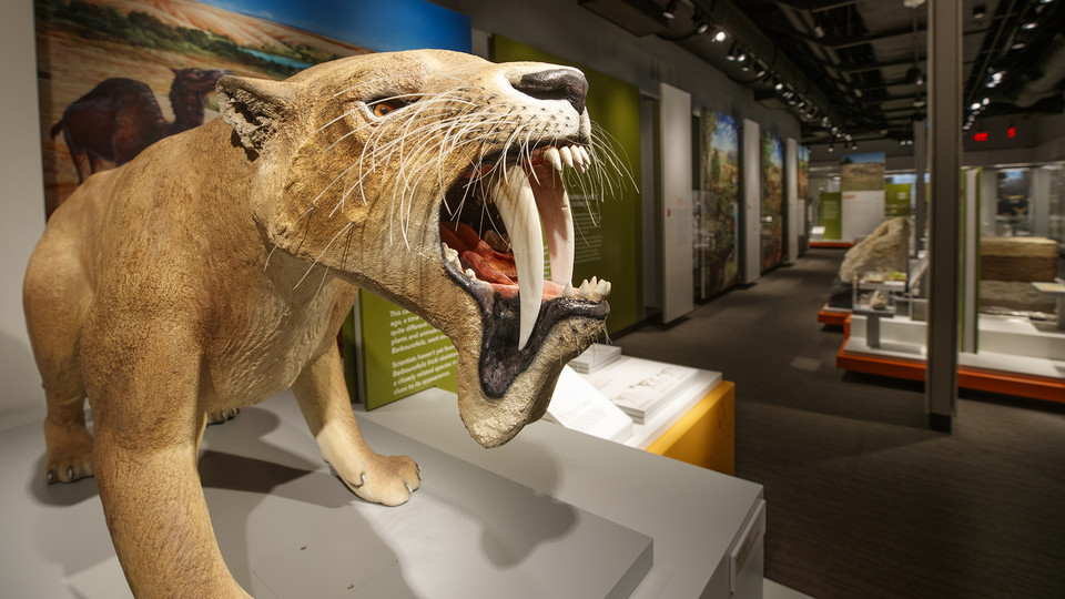 """Barbourofelis fricki, an ambush predator, stands ready in the new """"Cherish Nebraska"""" exhibition on the fourth floor of Morrill Hall. The exhibition opens to the public on Feb. 16."""