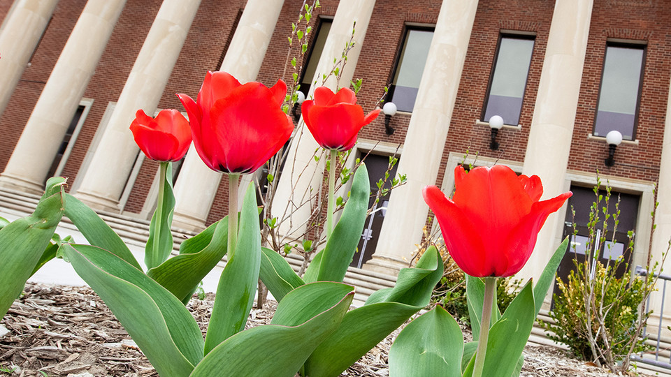 Tulips blooming on the south side of the Coliseum signal the start of spring at the University of Nebraska–Lincoln.