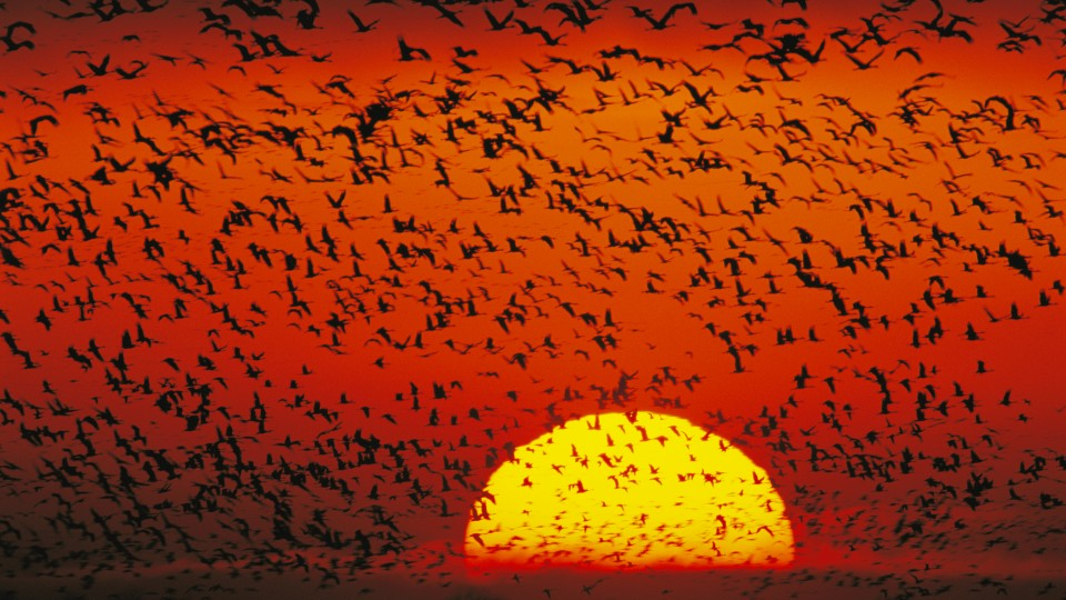 Sandhill cranes in flight at sunset
