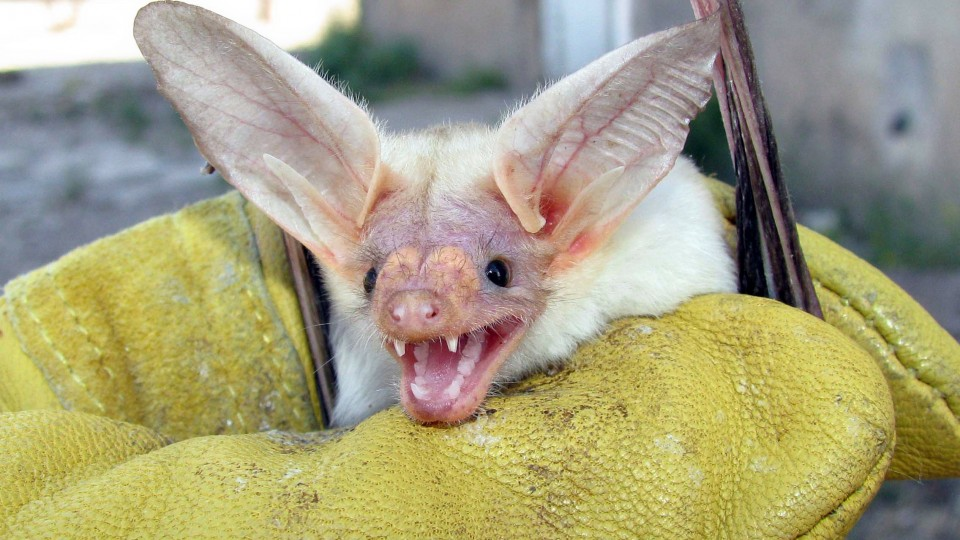 Morrill Hall's Sunday with a Scientist program on Oct. 20 will feature bat research by UNL's Patricia Freeman. Pictured above is a pallid bat (Antrozous pallidus), which has exceptional maneuverability and eats items on the ground.