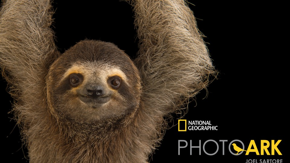 A brown-throated three-toed sloth (Bradypus variegatus)