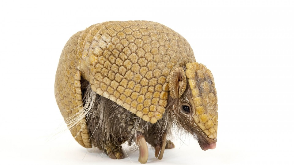 "The ""National Geographic Photo Ark"" by Joel Sartore, on display in Morrill Hall, includes this photo of a southern three-banded armadillo (Tolypeutes matacus)."