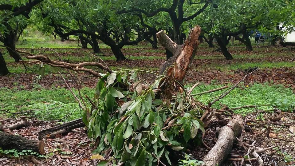how to cut back avocado tree