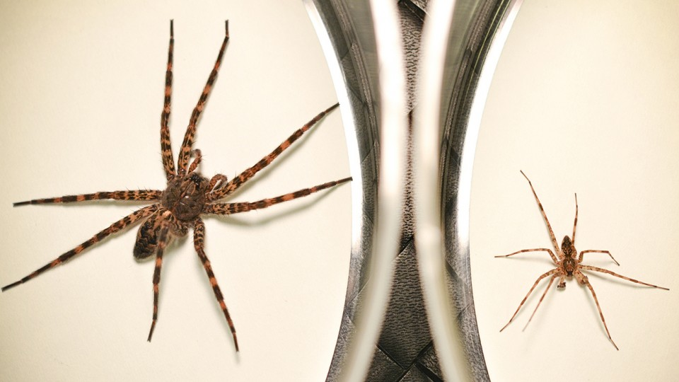 A female dark fishing spider (left) and its male counterpart, which sacrifices itself as a food source immediately after mating. A new study from the University of Nebraska-Lincoln and Gonzaga University has found that this cannibalism can benefit the male's offspring.