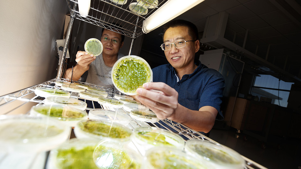 Yanbin Yin (right), associate professor of food science and technology, looks over algae samples with postdoctoral researcher Xuehuan Feng. Yin has earned a National Science Foundation CAREER award to create advanced computational tools to quickly identify carbohydrate-active enzymes, or CAZymes.