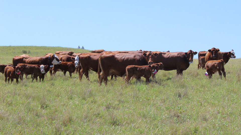 University of Nebraska–Lincoln researchers are using collars fitted with GPS and accelerometers to track the movements and behavioral patterns of beef cattle and how they link to efficient beef production systems.