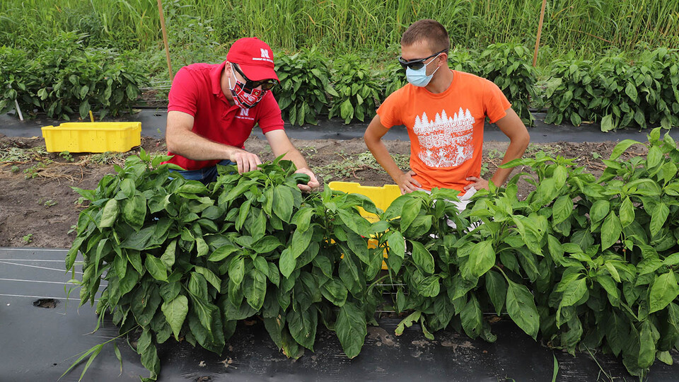 Sam Wortman (left), associate professor of agronomy and horticulture, and Caleb Wehrbein, a senior plant biology major, harvest peppers to evaluate their quality in an on-campus variety trial that carried on during the pandemic.