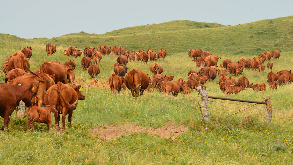 Cattle graze on the Diamond Bar Ranch north of Stapleton in June 2020. The Sandhills are threatened by the encroachment of eastern red cedar and other woody species, according to Craig Allen, a professor in Nebraska's School of Natural Resources.