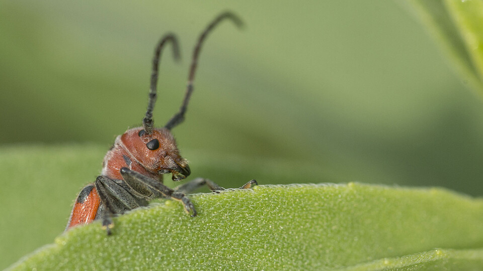 """A long-horned milkweed beetle is seen on a Maximilian sunflower at Lincoln Creek Prairie near Aurora. The University of Nebraska State Museum-Morrill Hall's new exhibition, """"Hidden Prairie,"""" explores the diversity of life that can be found in a square meter of prairie."""