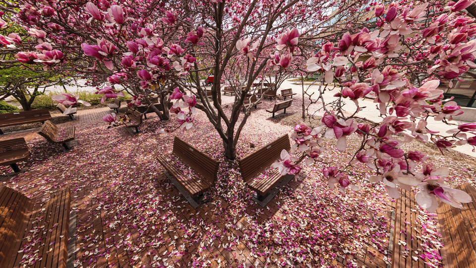 Saucer Magnolia trees bloom outside of the Lied Center.