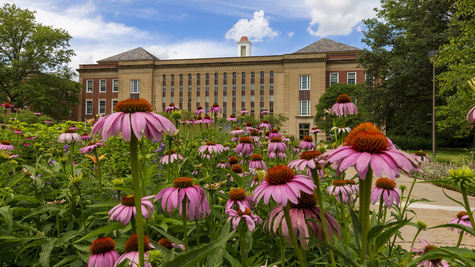 Purple coneflower (Echinacea purpurea), a staple among summer perennials, blooms in the Love Garden on the south side of Love Library.
