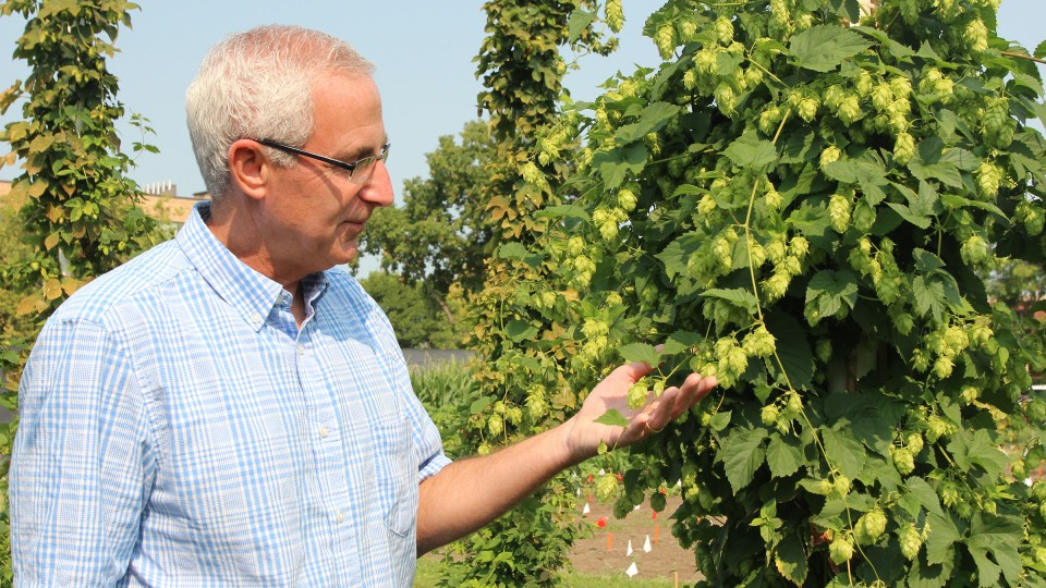 UNL's Stacy Adams examines hops in East Campus test gardens during the 2015 growing season. A team of UNL researchers is testing the viability of growing hops in Nebraska.