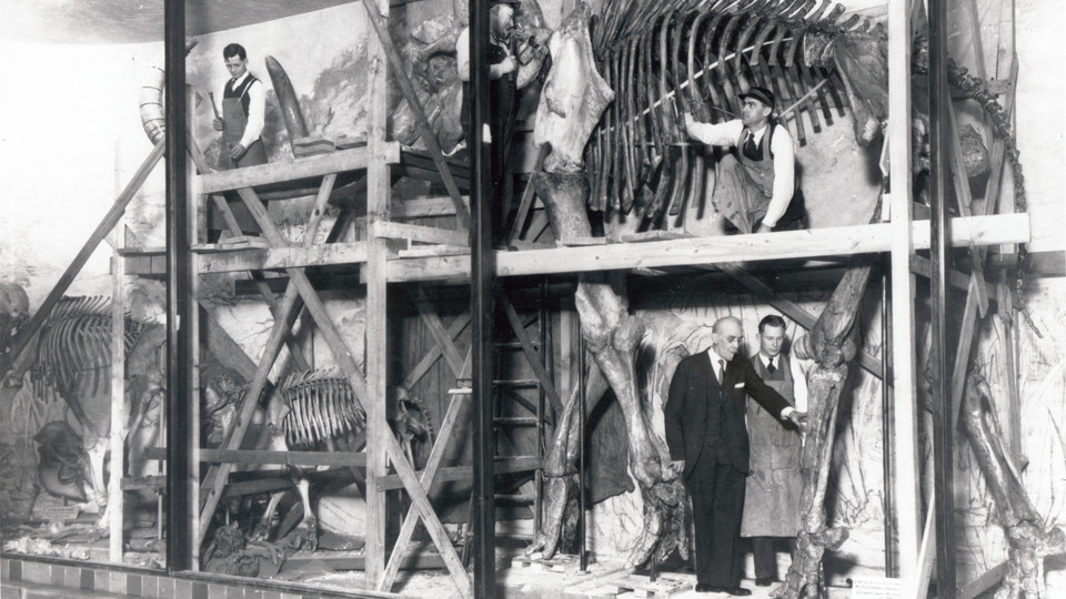 "Erwin Barbour (in suit) provides instruction on the placement of ""Archie,"" Nebraska's iconic mammoth skeleton, while preparatory Henry Reider inspects metal framework supporting the ribs."
