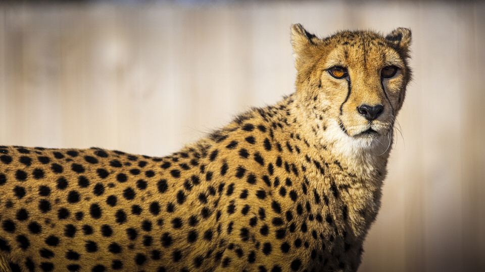 Cheetah at Lincoln Children's Zoo