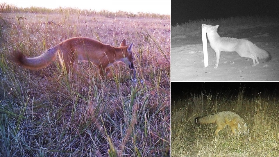 Canid camera: Students help map elusive species