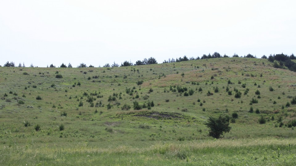 Cedar trees invading into grasslands from a windbreak in the Loess Canyons ecoregion. A new report suggests that the expansion of eastern redcedar into grasslands reduces grazing capacity.