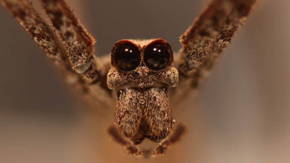 A new study from UNL biologists has revealed that the net-casting spider's secondary eyes -- the largest of any arachnid -- likely evolved in part to help it capture ground-based prey.