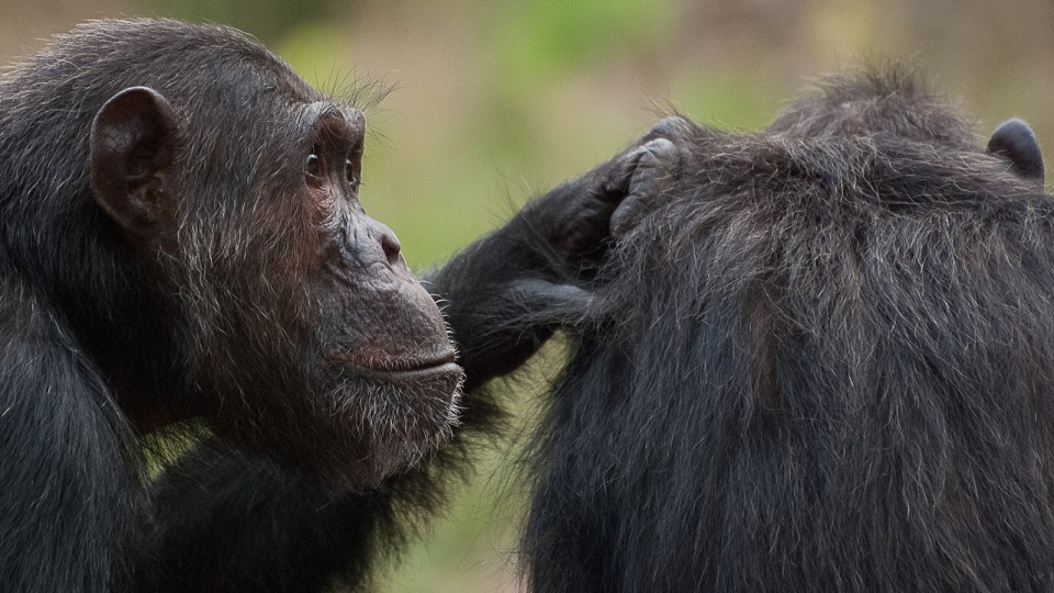 Chimpanzees interact in Gombe National Park, Tanzania. A recent study by University of Nebraska–Lincoln researchers suggests that humans and chimps exhibit nearly identical patterns in how they interact socially and remember things in their environment.