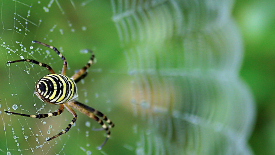 Mature orb weavers, like this garden spider, are among the many spiders on display as the seasons transition from summer to fall.