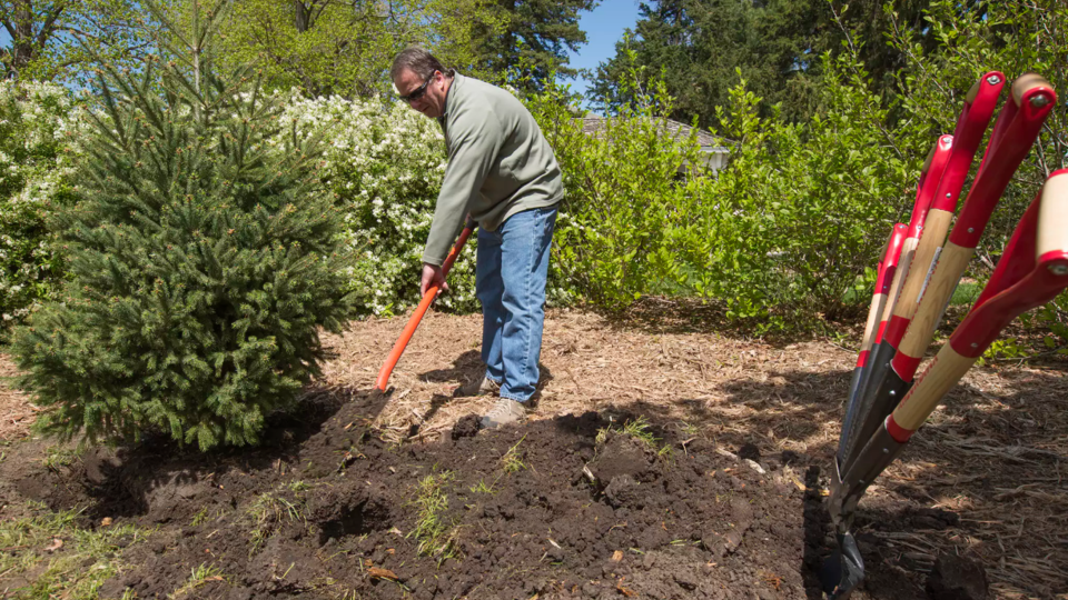 Jeff Culbertson, assistant director of landscape services, shovels dirt around the root ball of an Engelman spruce during an Arbor Day observance in 2017 on East Campus.