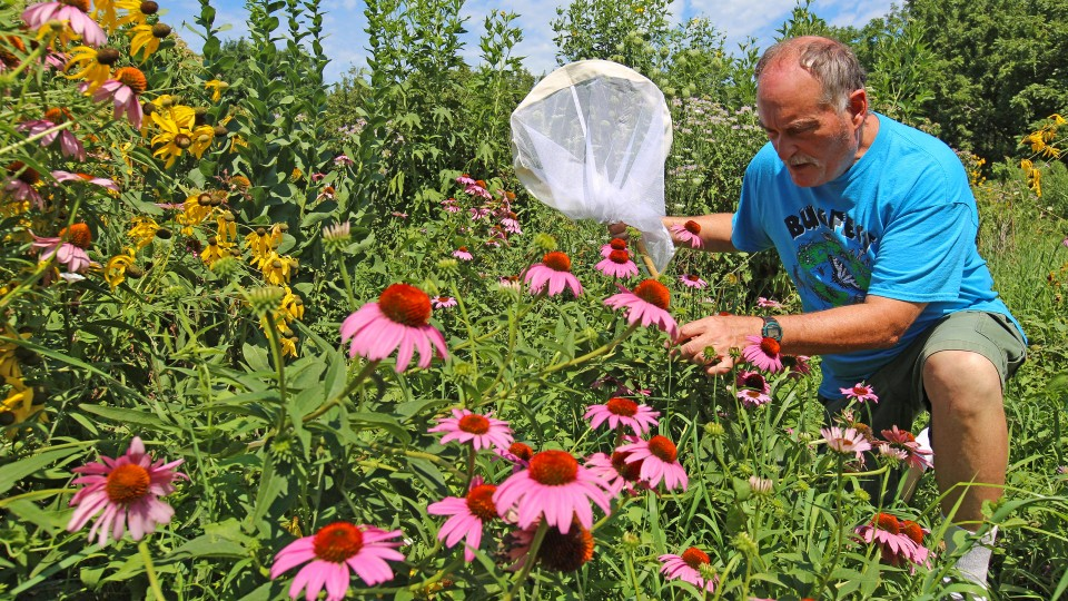Steve Spomer searches for signs of butterflies among flowers in a pollinator garden on UNL's East Campus. Spomer believes a wet May has contributed to the recent decline in butterflies in the Great Plains.