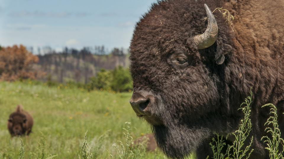 Bison graze at the Niobrara Valley Preserve one year after a wildfire swept through