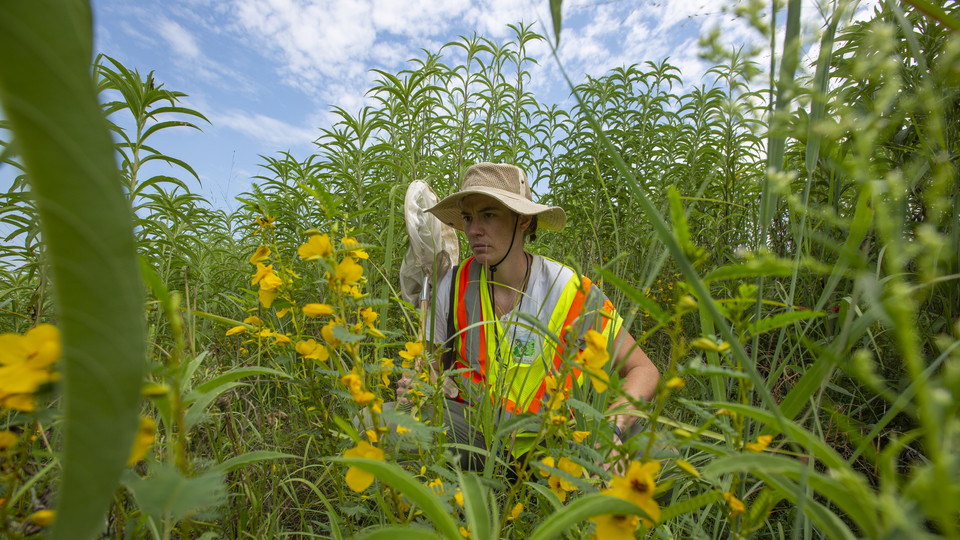 Nebraska's Kayla Mollet searches for pollinators in a roadside planting area south of Union. The master's student is leading a project to help better define best practices for planting wildflowers along Nebraska roadways.