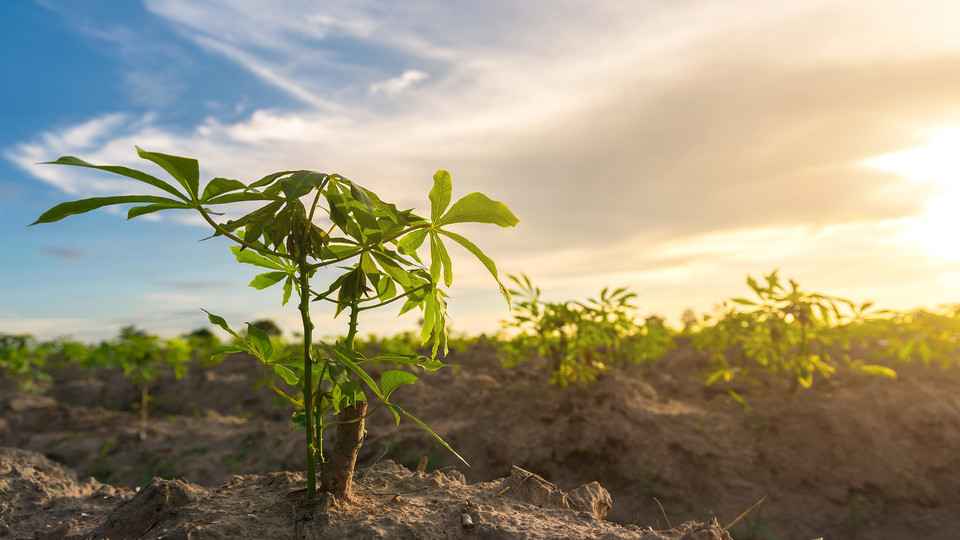 A Nebraska-led research project has shown promise in using biofortified cassava roots as a way to battle vitamin deficiencies in sub-Saharan Africa.