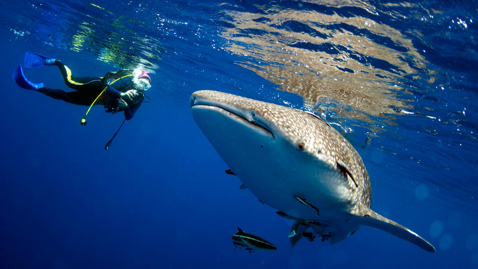 Human divers have little difficulty keeping up with gentle whale sharks during an occasional encounter. However, millions of years of evolution have shaped sharks and dolphins into ideal forms for moving quickly through water. Humans present a hybrid form that —while slower in the water —offers a versatility to move from water to land.