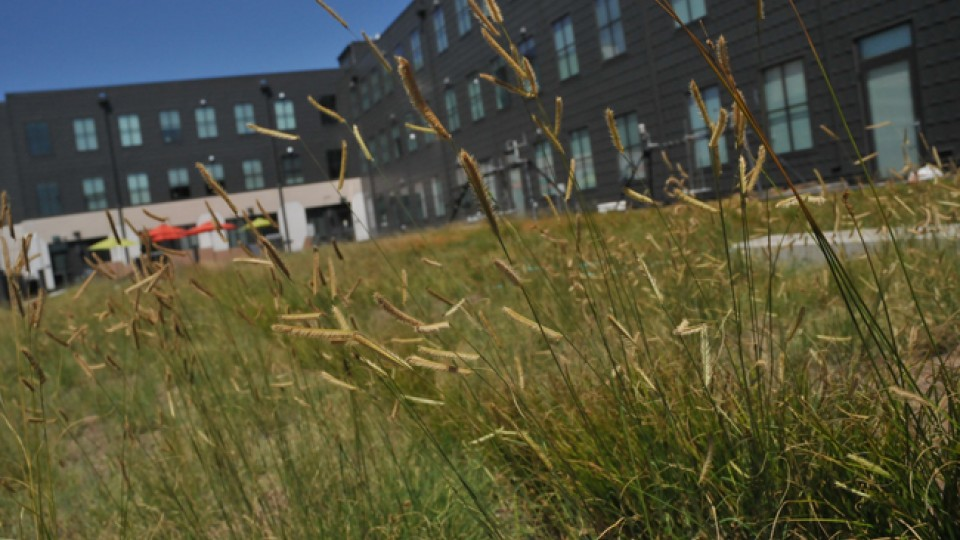 For the Larson Building project, Sutton started planting low-maintenance native grasses in spring 2012. This growing season, he has added wildflowers to the mix. (Troy Fedderson / University Communications)