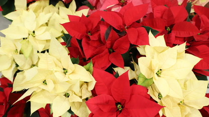 Horticulture Club poinsettia sale is Nov. 28-29