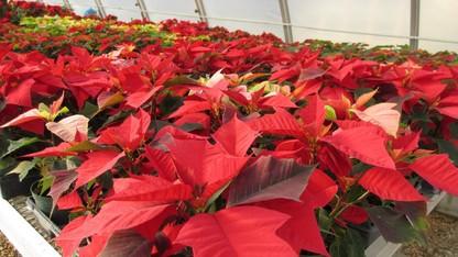 Horticulture Club's poinsettia sales are Dec. 9-10