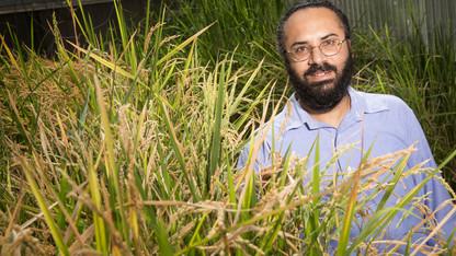 Research project seeks salt-tolerant rice genes