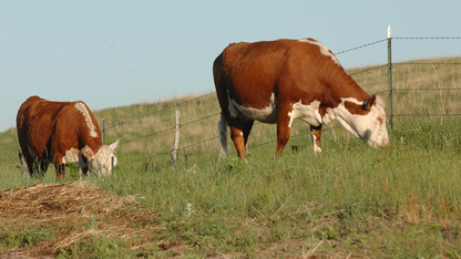 Expert offers tips on handling cattle in hot weather